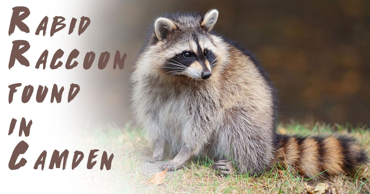 rabid, raccoon found, camden dog, prevention, education, rabies, animals, wild, wild animals